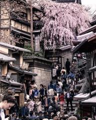 三年坂の桜