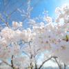 桜にせまれ