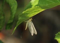 フタスジモンカゲロウの亜成虫