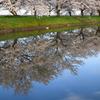 桜並木(偽)