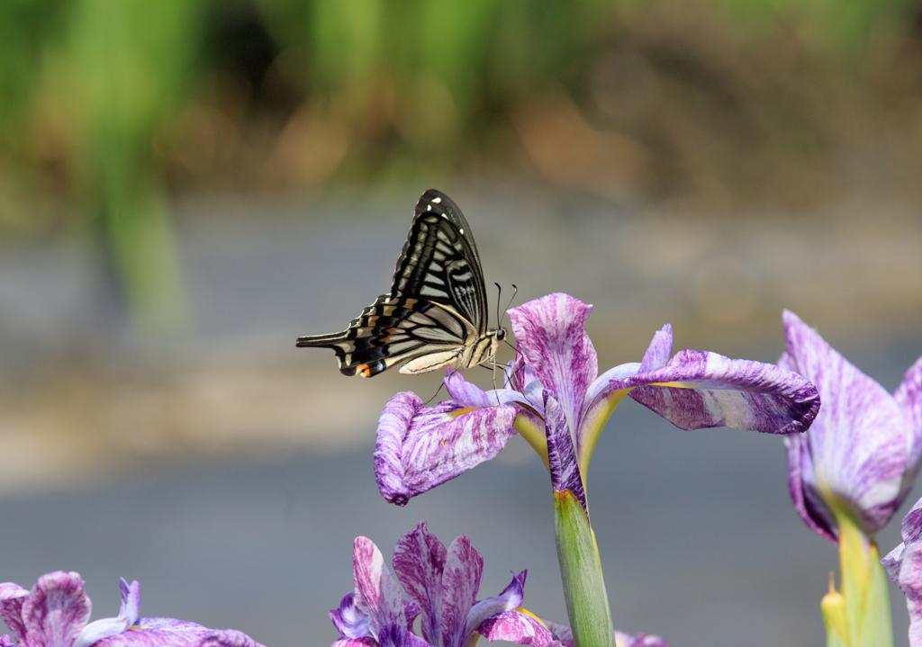 アゲハ蝶、七夕に止まる