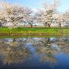 桜並木(偽) 其の二