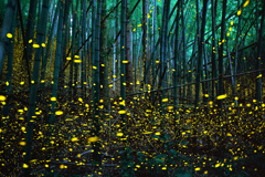 ヒメボタルの竹林
