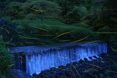 三朝の渓流のホタル
