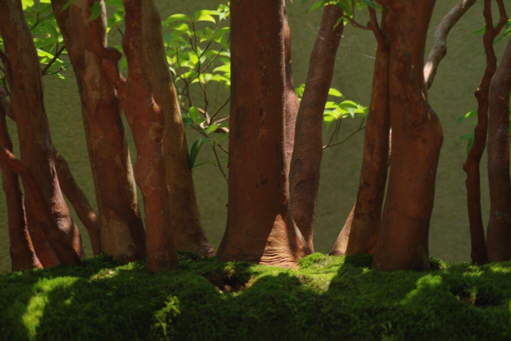 蝉鳴く ヒメシャラの盆栽