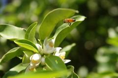 ミカンとミツバチ