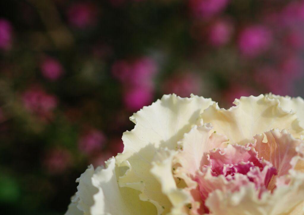 春燐 葉牡丹