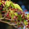 春の彩り イロハモミジ
