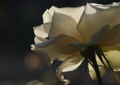 小春 薔薇