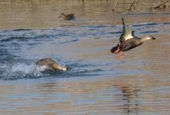 宍道湖でカルガモ追いかけっこ パシャリ|_・)その2