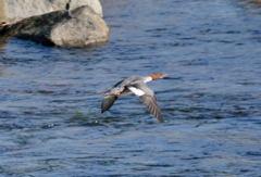 太田川でカワアイサ雌が飛んだからパシャリ|_・)