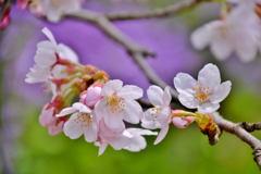 桜満開マクロレンズでパシャリ|_・)その4