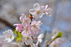 桜満開マクロレンズでパシャリ|_・)その1