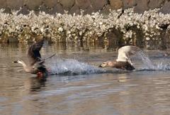 宍道湖でカルガモ追いかけっこ パシャリ|_・)その1