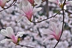 桜をバックに木蓮パシャリ|_・)