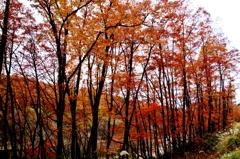立ち並ぶ紅葉