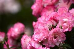 バラが咲いたよパシャリ|_・)1