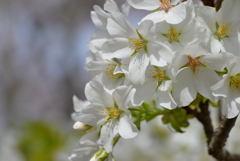 桜満開マクロレンズでパシャリ|_・)その3