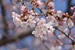 青空をバックに桜をパシャリ|_・)