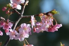 咲き誇る河津桜!!