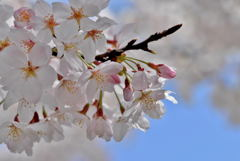 桜満開マクロレンズでパシャリ|_・)その2