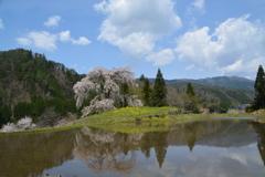 与一野のしだれ桜水田に花姿が映ったからパシャリ|_・)