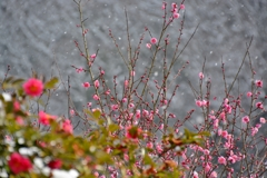 梅と雪景色1パシャリ|_・)