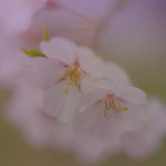 ぼんやり桜