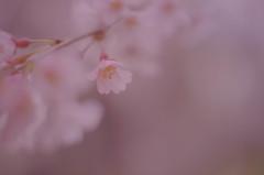 またまたぼんやり桜