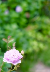 薔薇の園を夢みて。。。