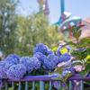 マーメイドラグーンの紫陽花
