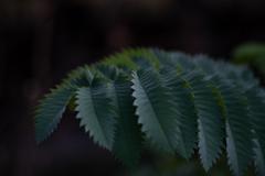 ギザギザの葉