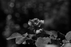 君は薔薇より美しい…