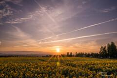 ひまわり畑の夕日
