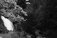 滝と桜と花吹雪