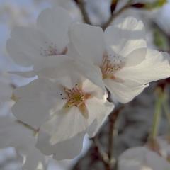 벚꽃 : 桜