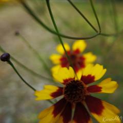 La fleur oscillante