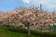 八重桜の「鬱金」(うこん)