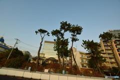 松の木(「超広角レンズ」バージョン)