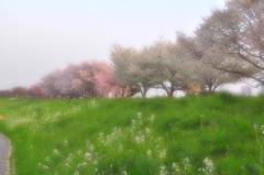 ホンワカな桜