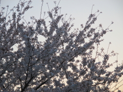 夕焼けの桜(コンデジVer.)
