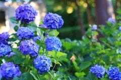紫陽花と背景のボケ