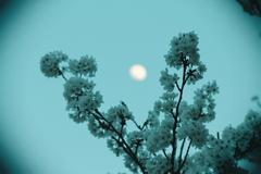 桜とお月様 トイカメラ風 その1