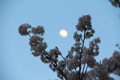 桜とお月様