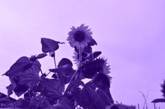 ひまわり 紫調モノクロ