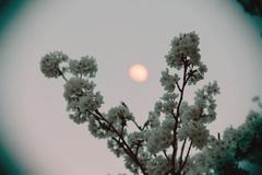 桜とお月様 トイカメラ風 その2