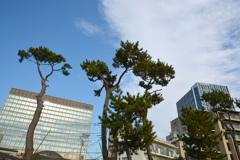 二子玉川ライズと松の木
