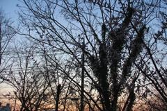 木と夕焼け(シルエット)