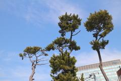 青空と松の木