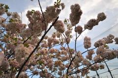 鬱金(うこん)八重桜
